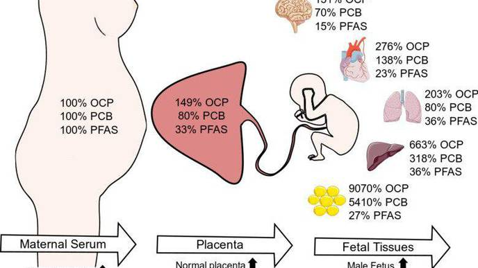 Several Persistent Chemicals Found in Fetal Organs