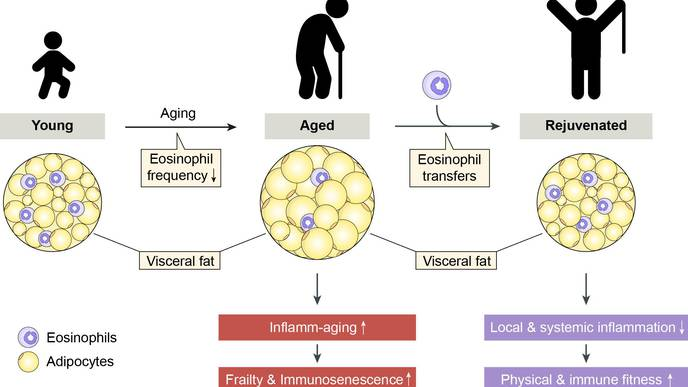 Age-Related Impairments Reversed in Animal Model